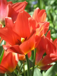 Pink Lily Flowering Tulips