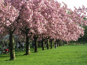 Cherry trees all in a row