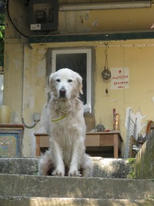 Peng Chau has good dogs!