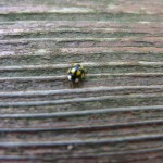 Black and Yellow Spotted Beetle